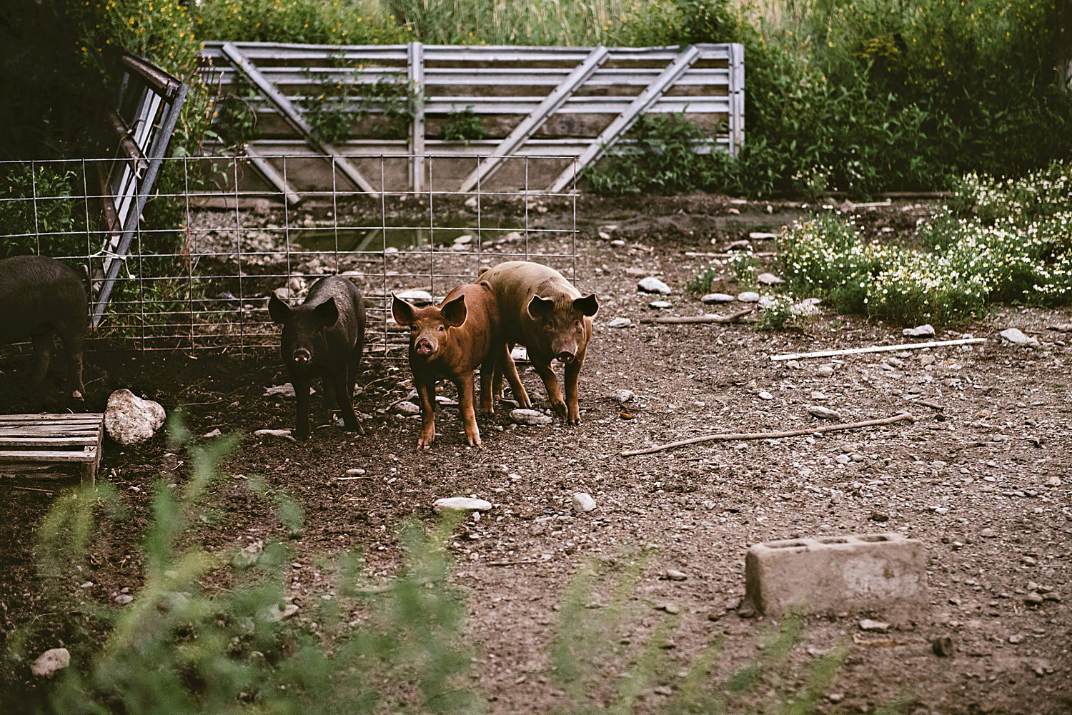 Pigs at the Cricket Creek Farm, Williamstown Ma